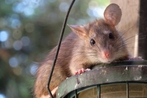 Rat Control, Pest Control in Downside, Cobham, Stoke d'Abernon, KT11. Call Now 020 8166 9746