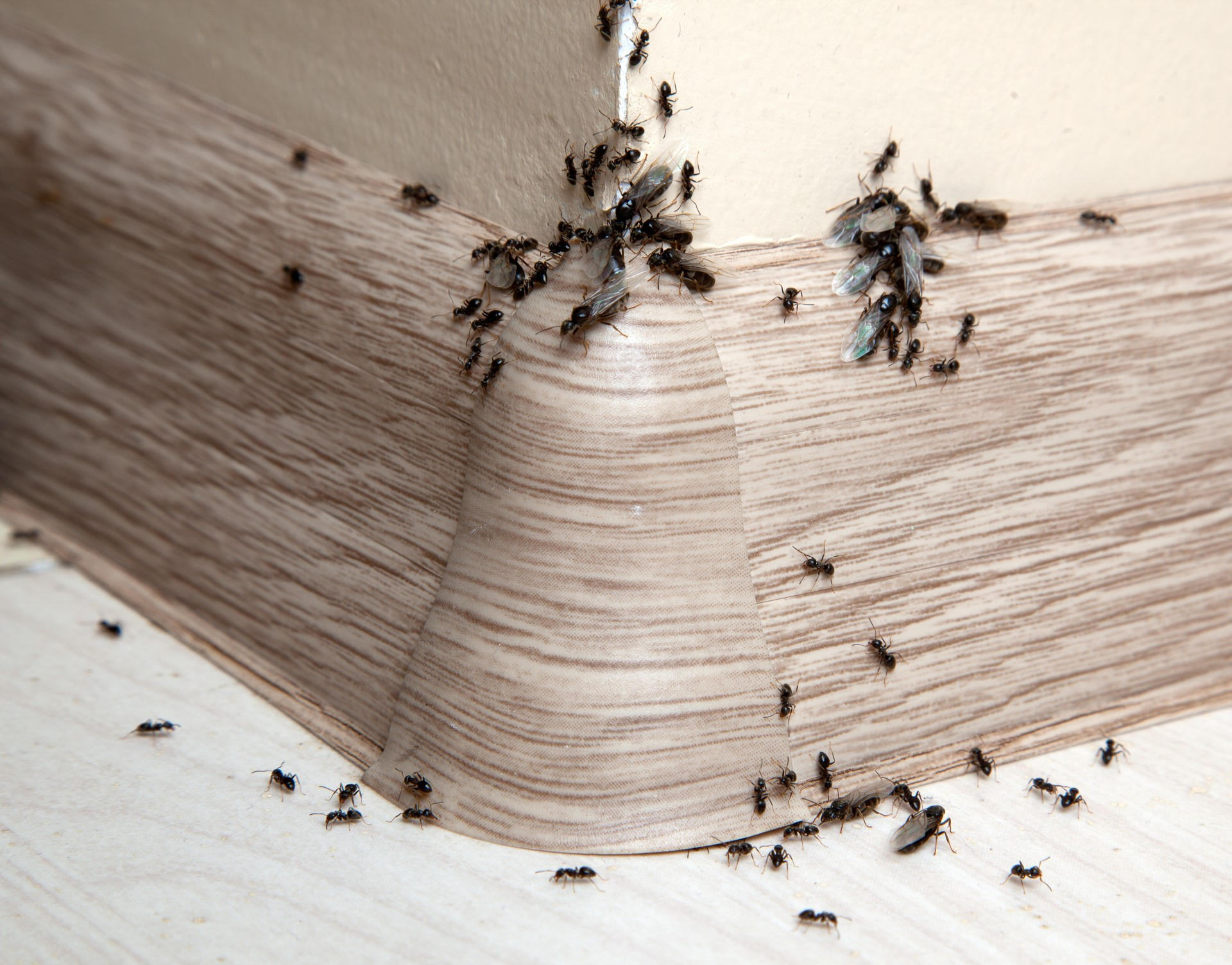 Ant Infestation, Pest Control in Downside, Cobham, Stoke d'Abernon, KT11. Call Now 020 8166 9746