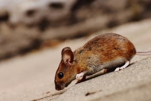 Mouse extermination, Pest Control in Downside, Cobham, Stoke d'Abernon, KT11. Call Now 020 8166 9746